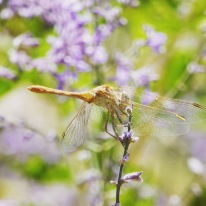 Dragonfly on wild mint, Pamirs