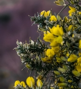 Western Gorse brightens the winter's day